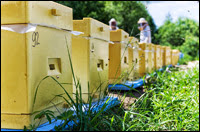 Из жизни пчёл