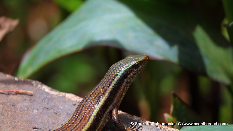 Bronze Grass Skink (Aranai Lizard) at Valparai, Tamil Nadu - 2