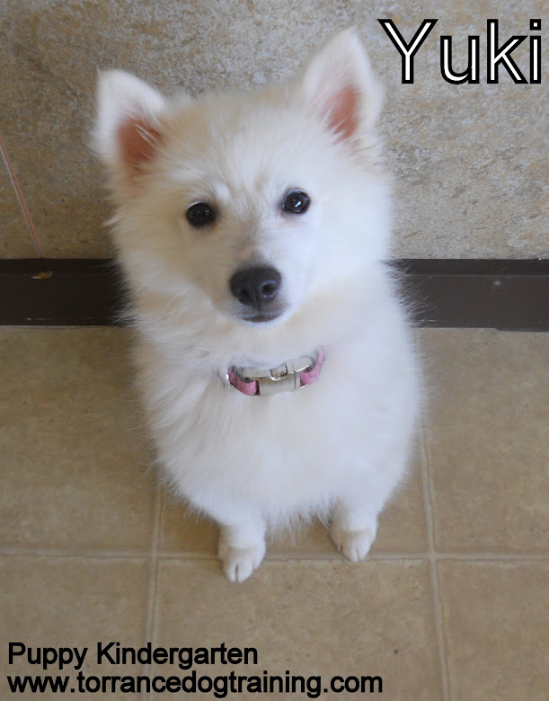 Yuki the 3 month old American Eskimo