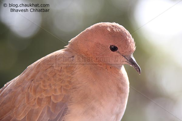 Cute Laughing Dove [Stigmatopelia senegalensis] - Little Brown Dove