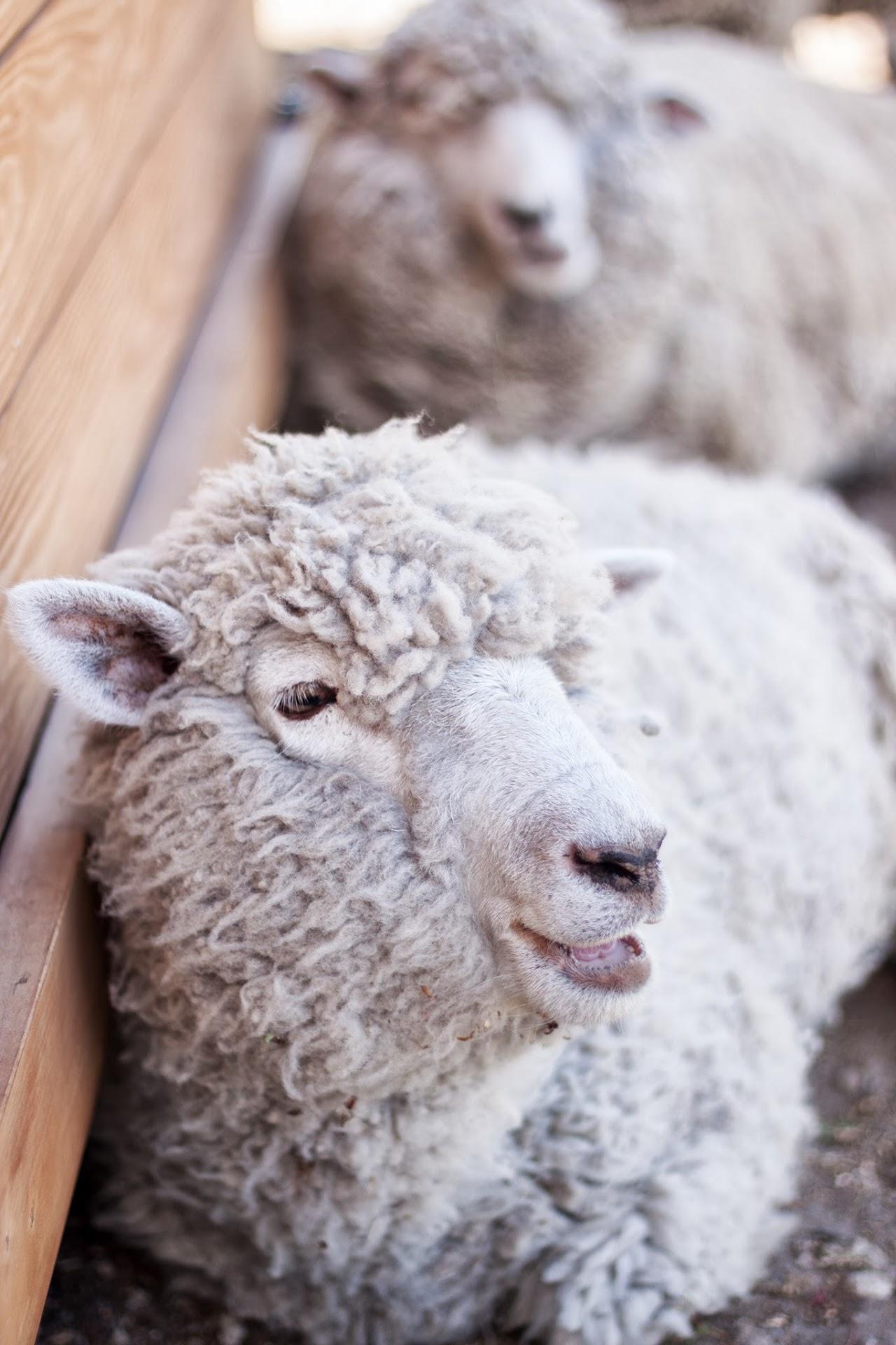 羊/伊香保グリーン牧場