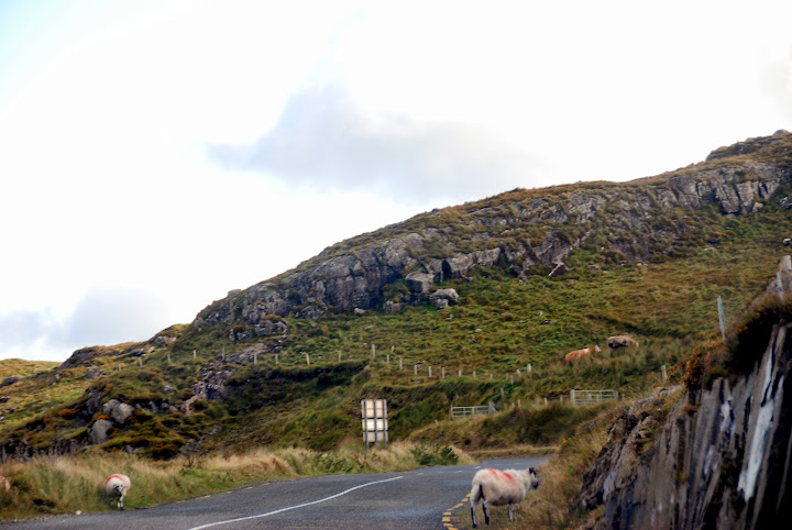 Sheep in the road on the Ring of Kerry