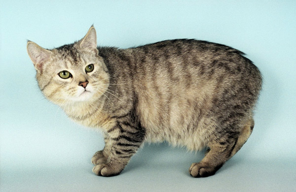 What Type Of Cat Is Found In The Isle Of Man 50