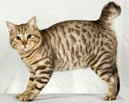 Image result for kucing bobtails