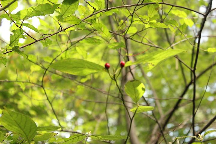 对称的果、叶