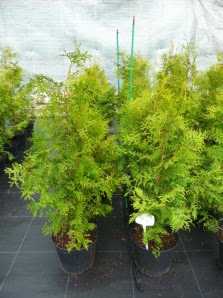 Żywotnik zachodni Thuja occidentalis