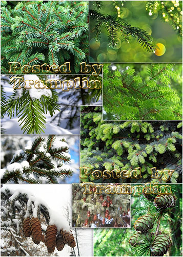 Вечно - зеленая Хвоя - Always-green Pine-needles