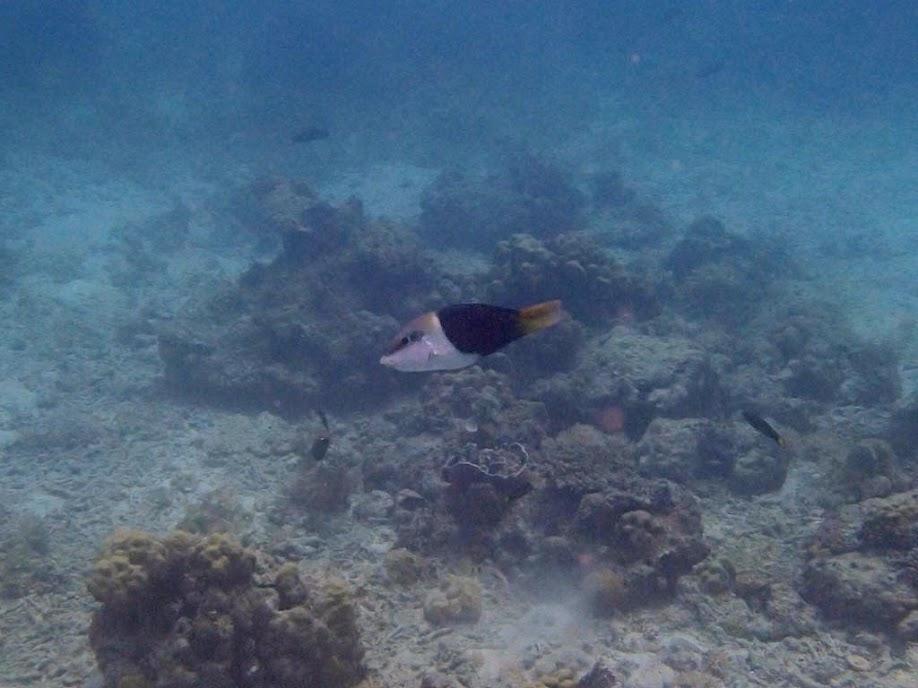 Hemigymnus melapterus (Juvenile Blackeye Thicklip Wrasse), Entatula Island Beach Club reef, Palawan, Philippines.