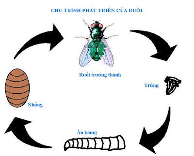 Vòng đời của ruồi nhà