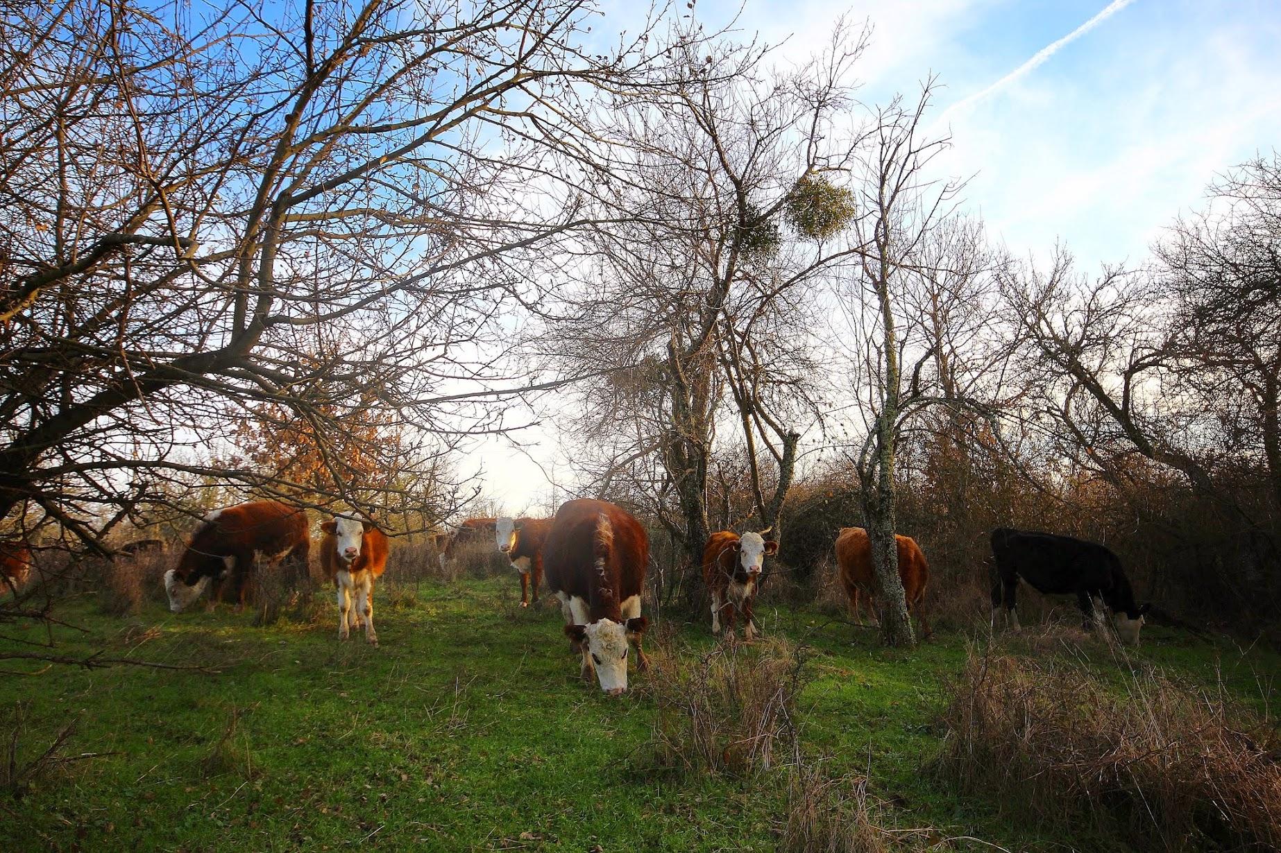 снимки крави
