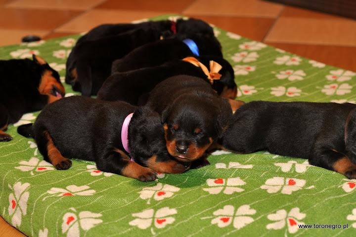 Małe rottweilery spią