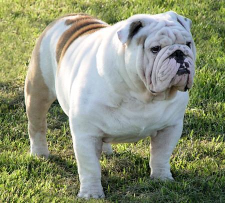 los 10 perros mas caros del mundo