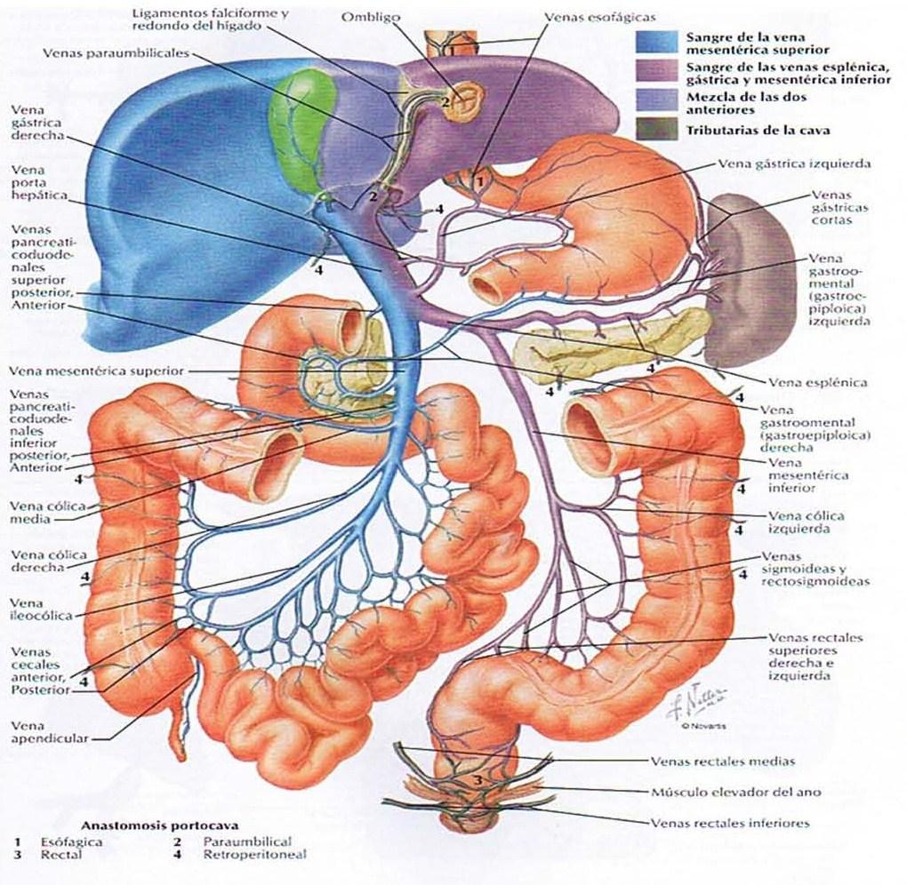 La osteopatía visceral ~ IACES Noticias sobre ciencias y ...