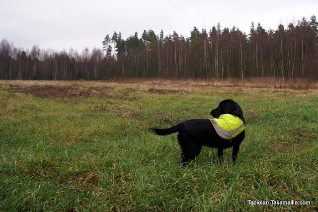 labradorinnoutaja metsä rusakkojahti