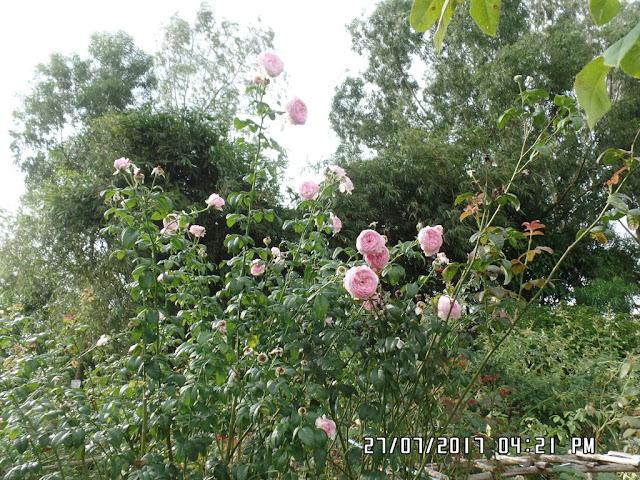 Cây hồng Mon Coeur hiện tại đã cao trên 2m, giờ ngắm bông phải đứng nhìn từ xa vì hoa ở rất cao so với đầu