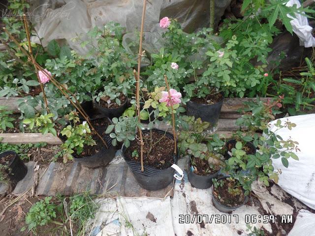 Mái che bằng nhựa tỏ ra hiệu quả khi thời tiết vào thời điểm mưa liên tục. số lượng lá vàng, lá hồng bị đốm đen giảm được phần nào