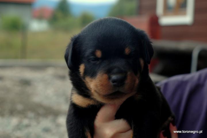 Małe szczenię toro negro
