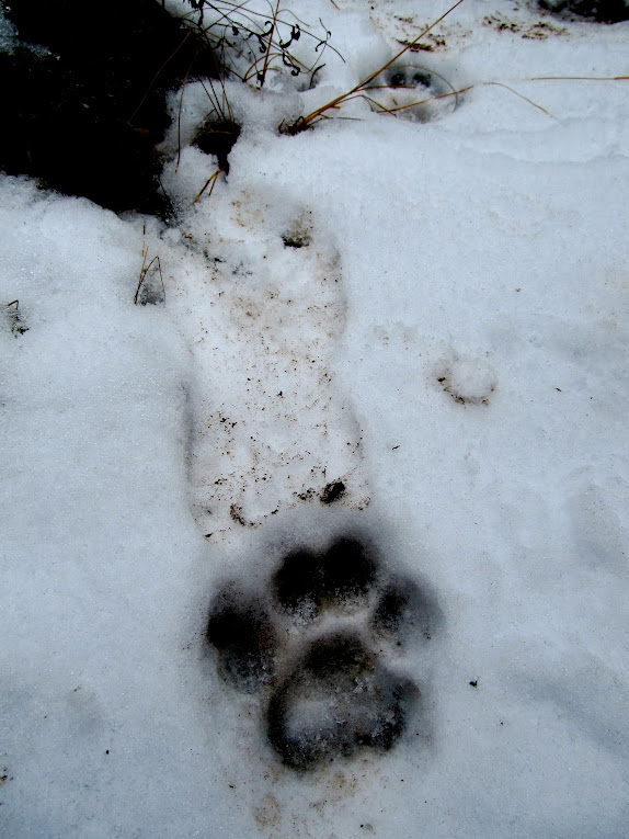 Cougar tracks (with Alan's footprint for scale)