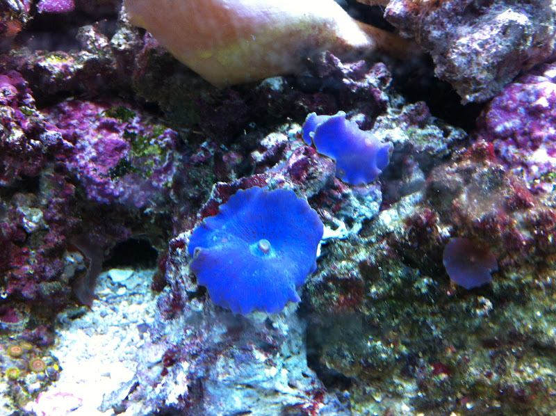 Actinodiscus sp. (Purple Mushrooms) 2012_%25203_26_16_18