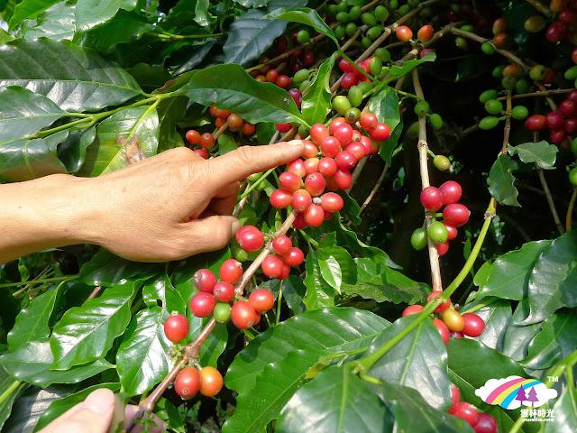 茂盛的台灣咖啡豆