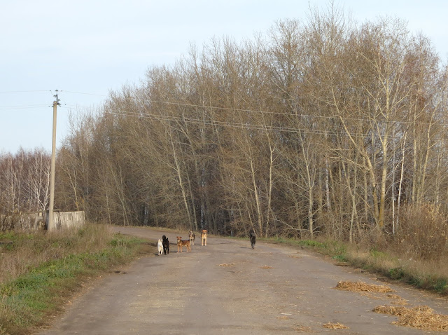 деревенские собаки