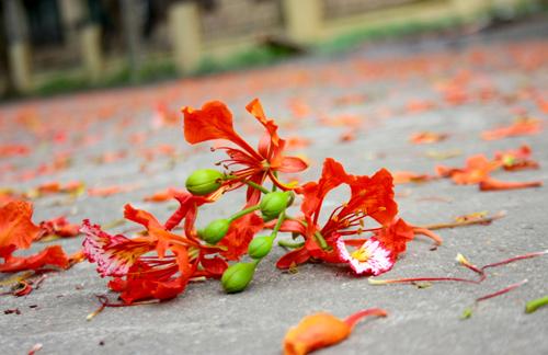 Ảnh hoa phượng rơi rụng đẹp