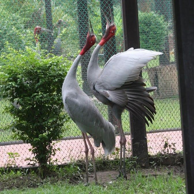 นกกระเรียน, สวนสัตว์โคราช, สวนสัตว์นครราชสีมา