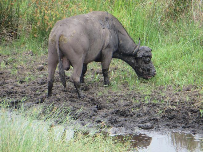 Waterbuffel stier, iSimangaliso Wetland Park, Zuid Afrika
