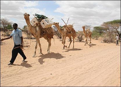 Camellos de carga