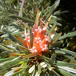 Lambertia formosa (Mountain Devil) (40167)