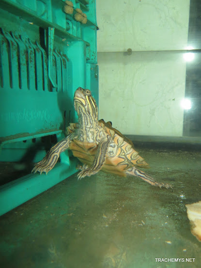 mes tortues (BK) - Page 11 IMG_2237