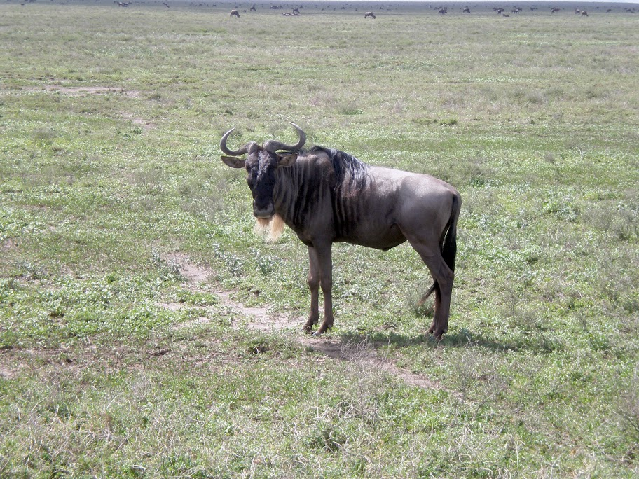 Ndutu plain - A living Wilderbeest!