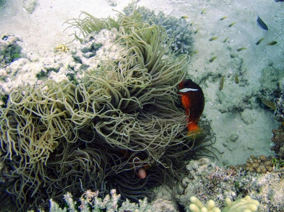 Amphiprion barberi (Fiji Tomato Clownfish) with Heteractis crispa (Sebae Anemone) , Naigani Island, Fiji.