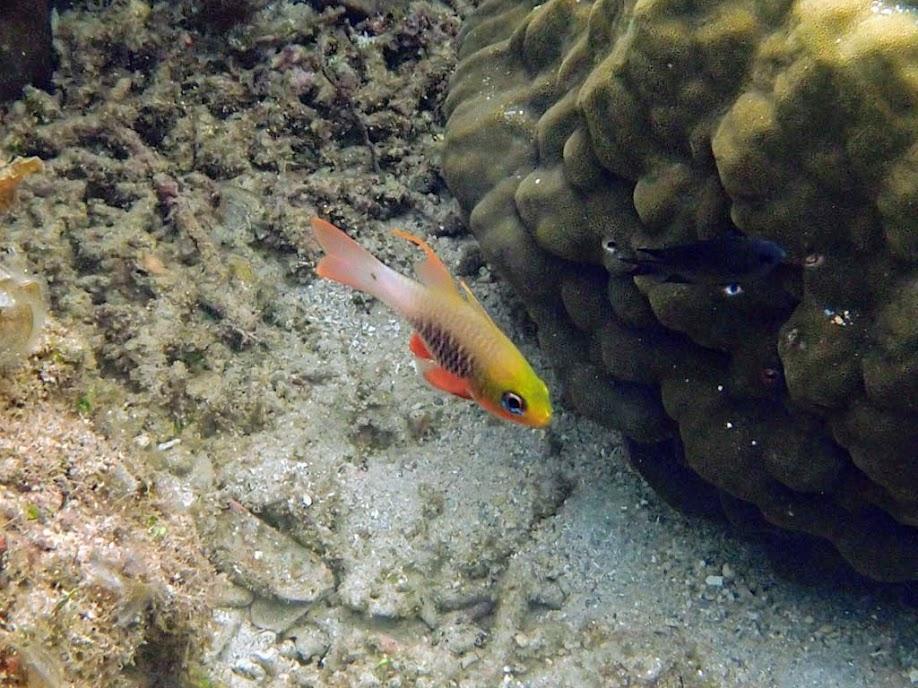 Apogon griffini (Hookfin Cardinalfish), El Nido, Palawan, Philippines.