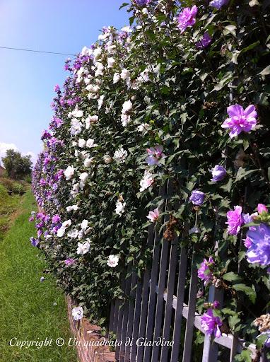 Siepe di ibisco hibiscus syriacus siepe decidua ma for Arbusti da siepe