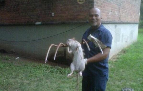 Big NYC rats