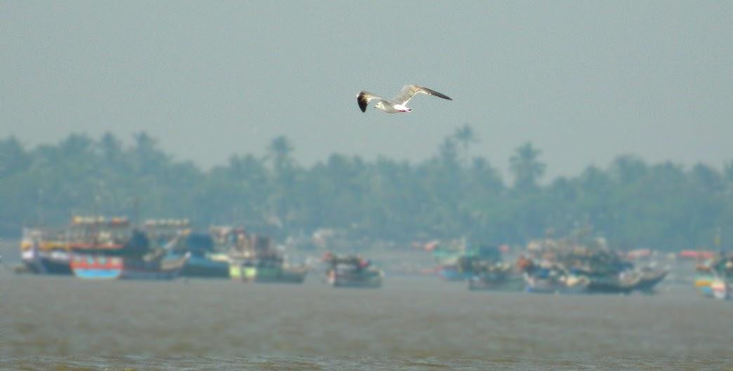 Sea gull flying on arnala beach