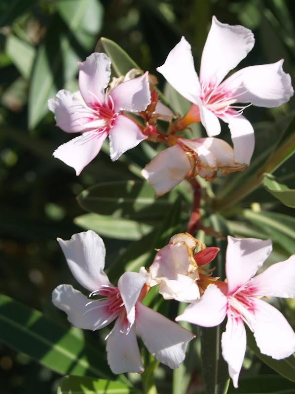UAE flowers
