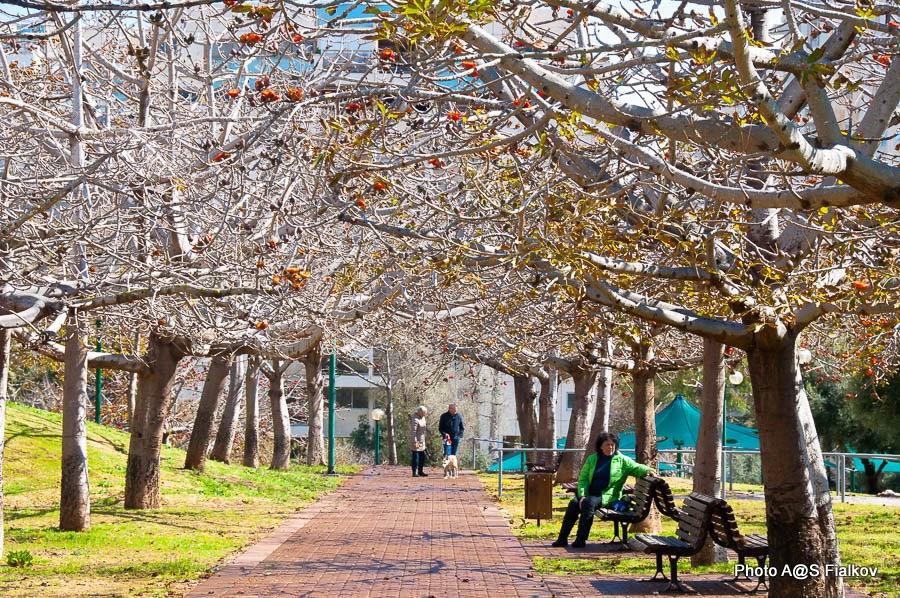 Аллея Бомбакса в Тель Авиве. Цветы и деревья Израиля.