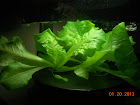 5 week lettuce - still growing slow, but eat a leaf now and then