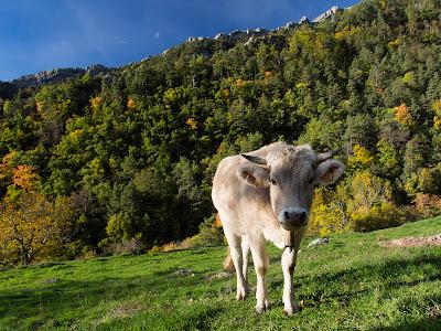 Una vaca en mira encuriosida