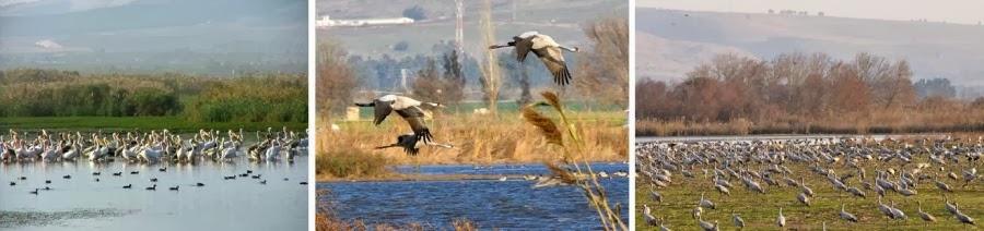 Перелет птиц в национальном парке Агмон Хула. На левом фото - пеликаны. На фото в центре и справа - журавли (в день съемки в долине было около 32000 журавлей). Гид в Израиле Светлана Фиалкова.
