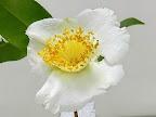 白色 一重 平開咲き 輪芯 中輪