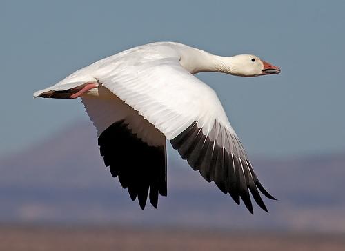 Como paisagem ao morrer o dia, o voar do ganso...
