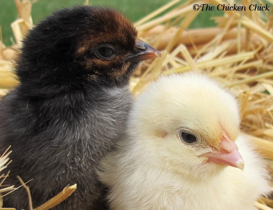 Ayam Baru Gede