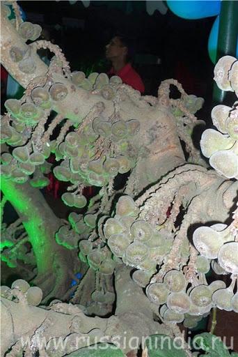 Растущая смоковница