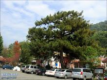 清水岩寺停車廣場的百年松樹