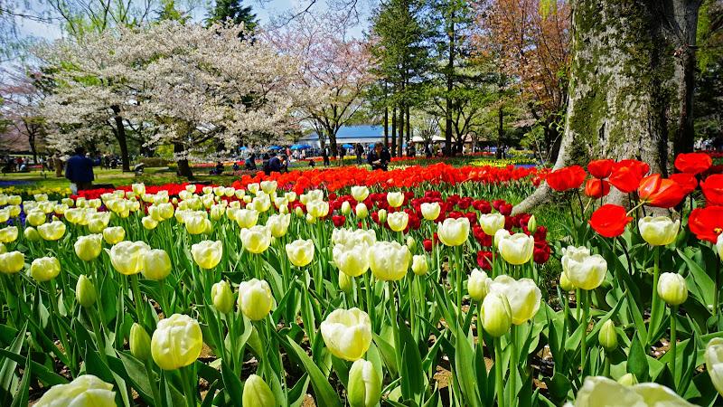 昭和記念公園 桜 写真14