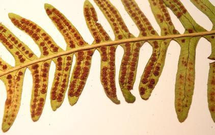 Paprotka zwyczajna Polypodium vulgare
