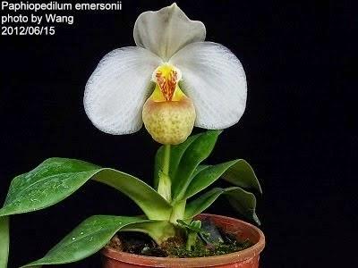 Hoa dễ nhận biết với màu trắng to và môi vàng cam, cánh rộng gần như hình tròn, môi phồng lên và có một nhị lép to gập đôi có đốm tía và vàng